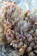 Orobanche parishii ssp. parishii