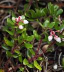 Arctostaphylos nummularia ssp. mendocinoensis