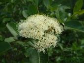 Photinia melanocarpa