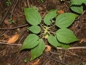 Pilea pumila (L.) Gray piléa nain [Stingless nettle]