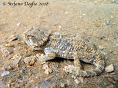 """also known as Geckonia chazaliae<br /><strong>Location:</strong> Khnifiss lagoon (Morocco)<br /><strong>Author:</strong> <a href=""""http://calphotos.berkeley.edu/cgi/photographer_query?where-name_full=Stefano+Doglio&one=T"""">Stefano Doglio</a>"""