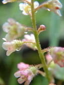 Ribes glandulosum