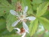 Rubus vermontanus
