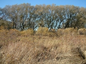 Salix alba