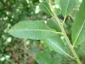 Salix bebbiana