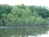 Salix interior
