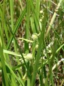 Sparganium erectum ssp. stoloniferum