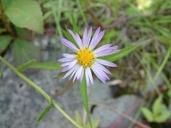 Symphyotrichum lanceolatum var. lanceolatum