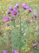 Symphyotrichum puniceum var. puniceum (L.) A.& D. Löve (=Aster puniceus L.) aster ponceau [Red-stemmed aster]