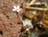 Leptosiphon pygmaeus ssp. pygmaeus