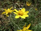 Eriophyllum lanatum var. hallii