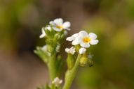 Plagiobothrys stipitatus