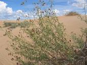 Palafoxia arida var. gigantea