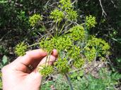 Lomatium dissectum var. eatonii