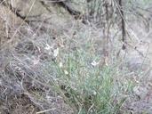 Astragalus atratus