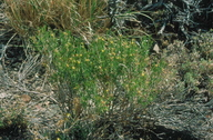 Ericameria parryi var. monocephala