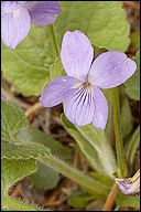 Viola hirta