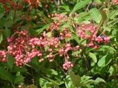 Viburnum nudum var. cassinoides