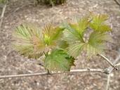 Viburnum opulus var. americanum
