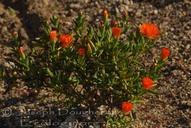 Lampranthus aurantiacus