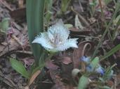Calochortus westonii