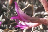 Astragalus lentiginosus var. piscinensis