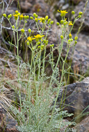 Packera eurycephala var. lewisrosei