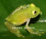 Northern Glassfrog