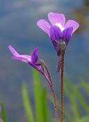 Pinguicula vulgaris ssp. macroceras