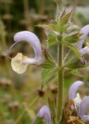 Salvia sclarea