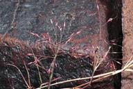 Muhlenbergia porteri