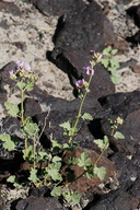 Sphaeralcea ambigua ssp. rosacea
