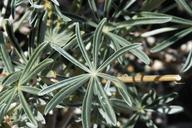Lupinus excubitus var. excubitus