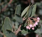 Arctostaphylos glandulosa ssp. zacaensis