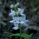 Davidson's Blue Eyed Mary