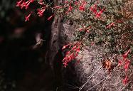 Epilobium canum ssp. angustifolium