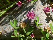 Trifolium depauperatum var. depauperatum