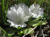 Lewisia brachycalyx