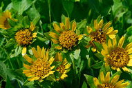 broad-leaved mule's-ears
