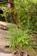 Liatris spicata var. spicata
