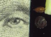 Chenopodium murale