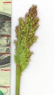 Agrostis semiverticillata
