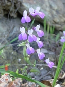 Collinsia multicolor