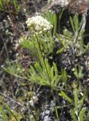 Antennaria luzuloides