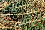 Pennisetum clandestinum