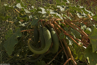 Proboscidea parviflora