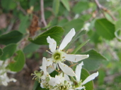 Pale Leaved Serviceberry