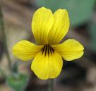 Viola purpurea