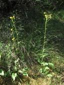 Senecio aronicoides