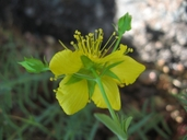 Hypericum concinnum